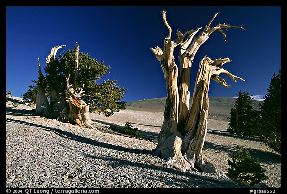 Bristlecone Pine trees, Mt Washington, early morning. Great Basin National Park (color)