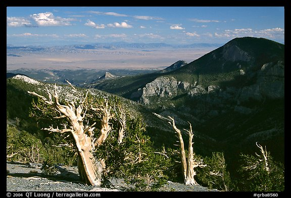 Bristlecone pine trees and Pole Canyon, afternoon. Great Basin National Park (color)