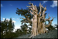 Old Bristlecone pine tree. Great Basin National Park, Nevada, USA. (color)