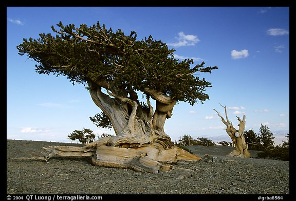 Twisted small Bristlecone pine tree. Great Basin National Park (color)