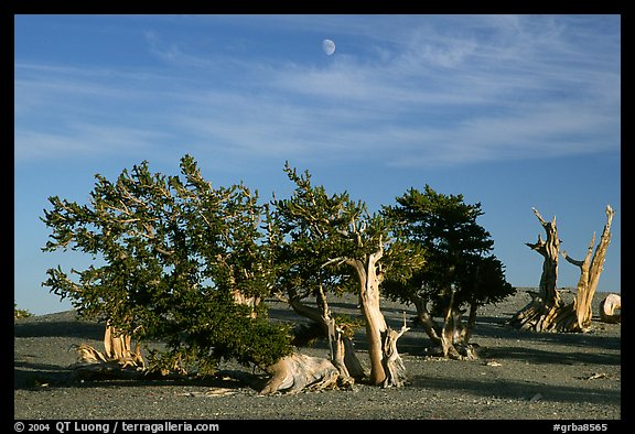Bristlecone Pine trees and moon, late afternoon. Great Basin National Park (color)