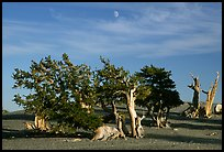 Bristlecone Pine trees and moon, late afternoon. Great Basin National Park ( color)