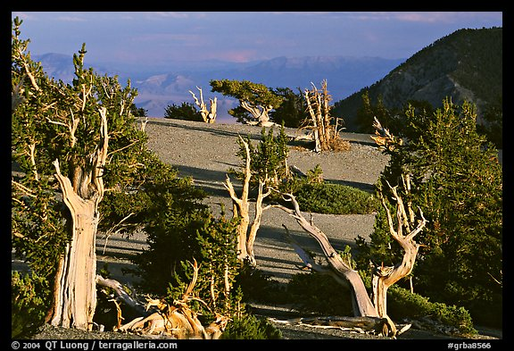 Grove of Bristlecone Pine trees, near Mt Washington late afternoon. Great Basin National Park (color)