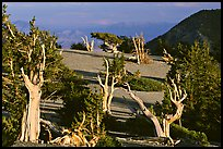 Grove of Bristlecone Pine trees, near Mt Washington late afternoon. Great Basin National Park, Nevada, USA.