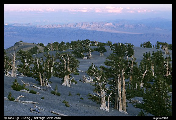 Bristlecone Pine trees grove, sunset. Great Basin National Park (color)
