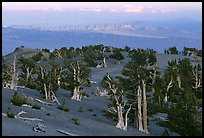 Bristlecone Pine trees grove, sunset. Great Basin National Park, Nevada, USA. (color)