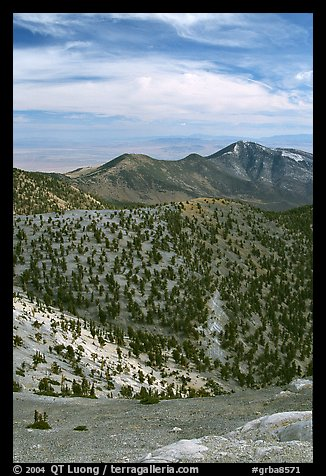 Slopes covered with Bristlecone Pine trees seen from Mt Washington, morning. Great Basin National Park (color)