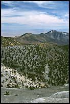 Slopes covered with Bristlecone Pine trees seen from Mt Washington, morning. Great Basin National Park ( color)