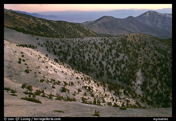 Slopes covered with Bristlecone Pines seen from Mt Washington, dawn. Great Basin National Park (color)