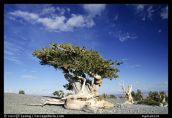Twisted Bristlecone pine tree with Bonsai shape. Great Basin National Park (color)