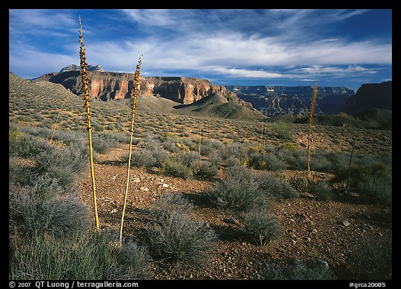 Agave flower skeletons and mesas in Surprise Valley. Grand Canyon National Park (color)