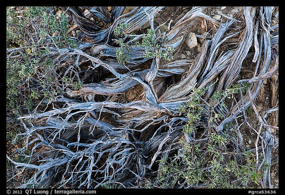 Ground close-up with juniper. Grand Canyon National Park (color)