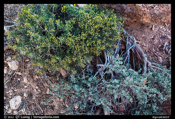 Ground close-up with shrubs and juniper. Grand Canyon National Park (color)