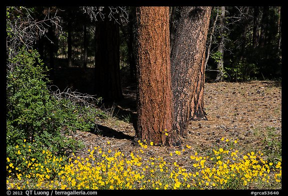 Flowers and Ponderosa pine tree trunks. Grand Canyon National Park (color)
