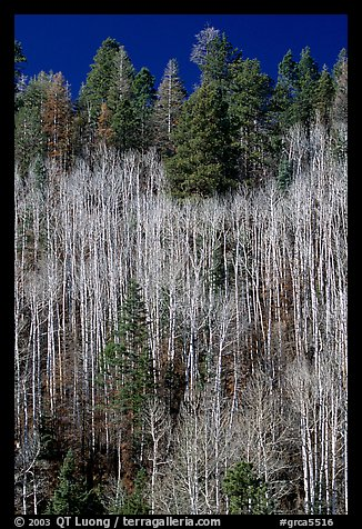 Bare aspen trees mixed with conifers on hillside. Grand Canyon National Park (color)
