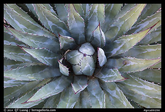 Agave close-up. Grand Canyon National Park (color)