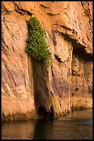 Vegetation clinging on cliff above river. Grand Canyon National Park ( color)