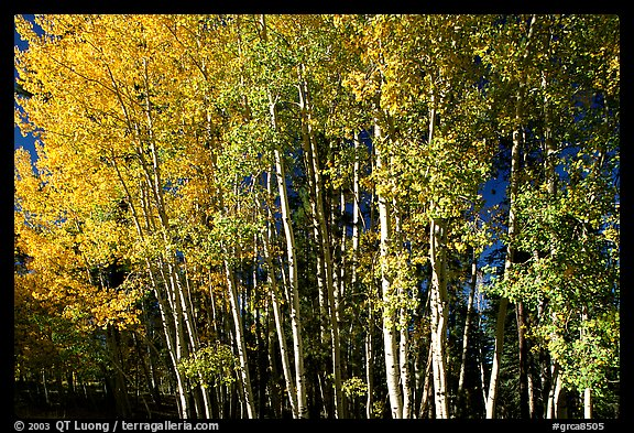 Aspens in  fall. Grand Canyon National Park (color)