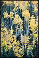 Aspens and evergeens on hillside, North Rim. Grand Canyon National Park, Arizona, USA. (color)