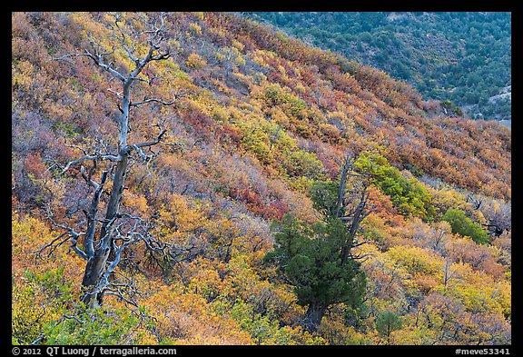 Trees and slope covered with fall colors. Mesa Verde National Park (color)