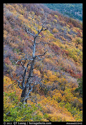 Tree skeleton and slope with shrubs in the fall. Mesa Verde National Park (color)