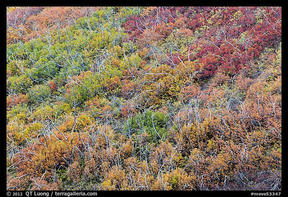 Burned area with shrubs in autumn colors. Mesa Verde National Park (color)