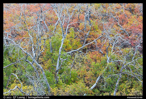 Twisted bare trees and brush with colorful fall foliage. Mesa Verde National Park (color)