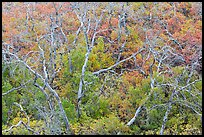 Twisted bare trees and brush with colorful fall foliage. Mesa Verde National Park, Colorado, USA.