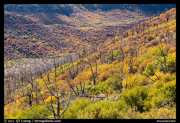 Canyon with burned trees and brush in fall colors. Mesa Verde National Park (color)