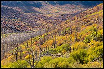 Canyon with burned trees and brush in fall colors. Mesa Verde National Park, Colorado, USA.