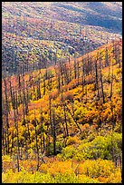 Burned forest and vividly colored shurbs in autumn. Mesa Verde National Park, Colorado, USA.