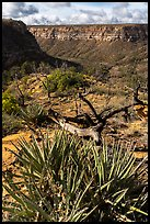 Yucca on canyon rim, Wetherill Mesa. Mesa Verde National Park ( color)