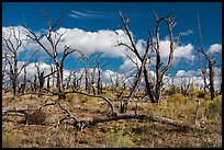 Burned forest, Wetherill Mesa. Mesa Verde National Park ( color)
