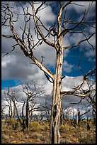 Standing skeletons of burned trees, Wetherill Mesa. Mesa Verde National Park ( color)
