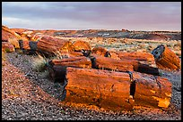 Last light illuminates large petrified wood logs, Crystal Forest. Petrified Forest National Park ( color)