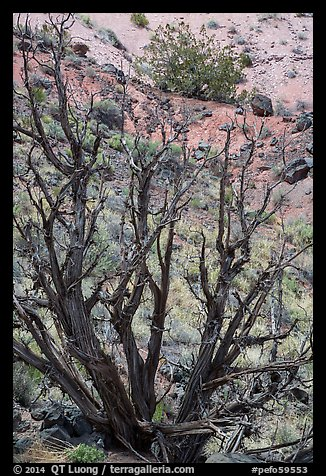 Juniper trees on slope. Petrified Forest National Park (color)