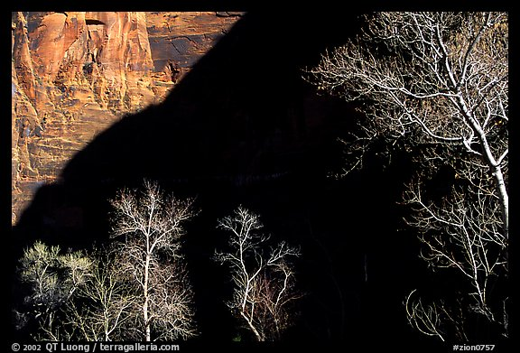 Bare cottonwoods and shadows in Zion Canyon. Zion National Park (color)