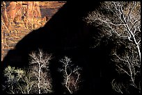 Bare cottonwoods and shadows in Zion Canyon. Zion National Park, Utah, USA. (color)