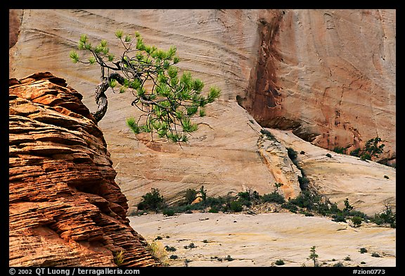 Lone pine on sandstone swirl and cliff, Zion Plateau. Zion National Park (color)