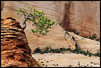 Lone pine on sandstone swirl and cliff, Zion Plateau. Zion National Park, Utah, USA. (color)