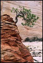 Lone pine on sandstone swirl and rock wall, Zion Plateau. Zion National Park, Utah, USA. (color)