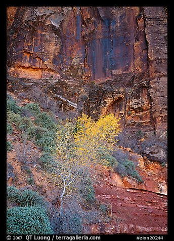 Yellow bright tree and red cliffs. Zion National Park (color)