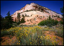 Sage flowers and colorful sandstone formations. Zion National Park ( color)