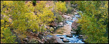 Trees in fall colors on the banks of the Virgin River. Zion National Park (Panoramic color)
