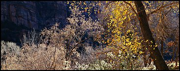 Autumn colors and cliffs. Zion National Park (Panoramic color)
