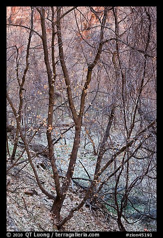 Bare tree tangle with a few leaves, Zion Canyon. Zion National Park (color)