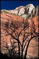 Bare trees and multicolored cliffs. Zion National Park ( color)