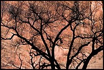 Dendritic pattern of tree branches against red cliffs. Zion National Park, Utah, USA. (color)