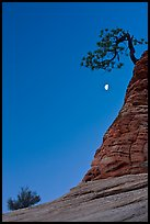 Bush, half-moon, and pine tree, twilight. Zion National Park, Utah, USA. (color)