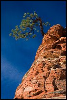 Tree growing out of twisted sandstone, Zion Plateau. Zion National Park, Utah, USA. (color)